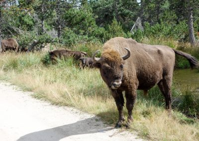 The european bison